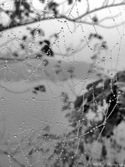 WINTER || Glitter Spider Web. (AL Kafi) Tags: beautyofbangladesh webofspider spiderweb web spider glittering dew winter glitteringdew blackandwhite old nature natural morning