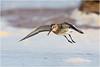 Dunlin (Antony Ward) Tags: dunlin bif birdsinflight wader southgare coathamsands