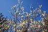 DSC03458 (青色琉璃) Tags: 鐵木瀑布 瀑布 水 藍 梅 梅花 橡樹 楓葉 楓紅 天空 白色 樹 冬天 1月 一月 羅孚