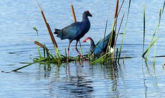 Purple Swamphen - Br plumage - courtship display (forest - Thanks - 6.7 M+ views ...) Tags: day sunset beach water sky red flower nature blue night white tree green flowers portrait art light snow dog cloudy clouds park winter landscape street summer sea lake christmas people bridge family bird river pink house car food bw old online macro music new moon orange garden blackandwhite lark grass got flickr rose fish animal summertanager sparrow wren whale bluewhale butterfly ocean tit tits mountain europe travel europetravel mountainside belgium france netherlands
