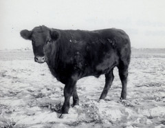 Sigmund (twm1340) Tags: vintage old family photo angus steer yearling calf livestock