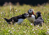 Puffins (wayne.withers1970) Tags: small pretty wings leaves color colourful nature natural colour wild wildlife wales summer june flickr dof bokeh country countryside outside outdoors alive flora fauna canon sigma green light blur black white colorful feathers crowd flowers grass puffins sea seabirds