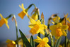 Imbolc (rachael_lea) Tags: daffodils narcissen narcissus flower yellow sky blue orange spring imbolc february