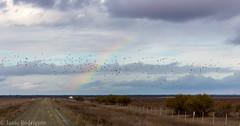 Bandada de jilgueros frente al arcoiris #doñana #nublado #jilgueros #arcoiris #belleza (isaacrodríguezandaluz) Tags: doñana nublado jilgueros belleza arcoiris