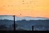 Electric wire and Wild birds. (HIromi Kano) Tags: japan izunuma miyagi kurihara tome lake wildbird bird wildgoose swan nature landscape 日本 伊豆沼 宮城県 野鳥 マガン 雁 白鳥 ハクチョウ 自然 湖