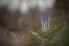 Still Waiting... (Stefan Zwi.) Tags: forest wald crocus krokus spring frühling blume flower ngc npc