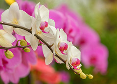 Orchids (mclcbooks) Tags: flower flowers floral orchid orchids denverbotanicgardens colorado indoor