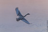 Flight of The Swan (Larry E. Anderson) Tags: cygnusbuccinator minnesota mississippiriver monticello swanpark trumpeterswan bird fog goldenhour mist river seasons water winter