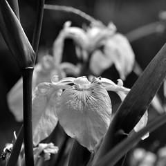 Lilie / Lily (Lichtabfall) Tags: pflanzen plants blume flower blackwhite blackandwhite einfarbig monochrome schwarzweiss lilie lily neddernhof sw bw makro blüte bloom