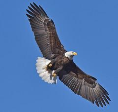 Magnificence In The Sky (Vidterry) Tags: eagle baldeagle eagleinflight baldeagleovercedarlake handheld february2018
