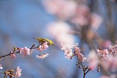 _DSC0854.jpg (plasticskin2001) Tags: mejiro sakura flower bird