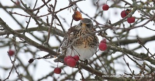 Plenty of Fieldfare pictures heres another feedin g well on this cherry tree(i think?)