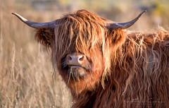 Highland Cow.. (Catherine Cochrane) Tags: animal nature outside outdoors wildlife field grass highland cow winter beautiful portrait light orange cute scottish scotland highlandcattle horns longhorns cows animals