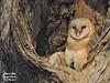 Cozy Enough ?? (r0ysuman) Tags: india fauna nikon coolpix p 530 family barn owl iit kanpur ganga barrage canal white brown