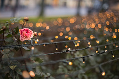 39/52 Stripes'n bokeh (Nathalie Le Bris) Tags: bokeh christmas rose navidad noël rosa stripes rayas
