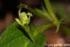 Vola lactea Sm. (Luís Gaifém) Tags: violalactea violaceae violetabrava paledogviolet creamcolouredviolet violettelactée milchveilchen sailchuachliath echtmelkviooltje luísgaifém macro natureza nature planta plantae flor flower laúndos