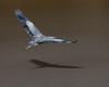 falls lake 1-20-18-12 (frankclem) Tags: birds wings flight feathers heron telephoto shadow