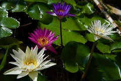 Beauties in the Pond! (ineedathis, Everyday I get up, it's a great day!) Tags: lily nymphaea afterglowwaterlily bluebeauty yellowdazzler whitedelight waterplant watergarden pond tropical beauty exotic pink nature νουφαρο nikond750 νυμφαια yellow green flower plant autumn waterlilies