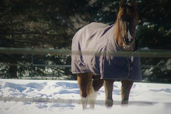 Curieux 2 (granule19) Tags: horse cheval hiver winter