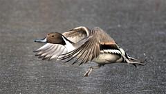 Northern Pintail Duck (M) (kearneyjoe) Tags: northern pintail duck
