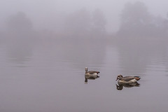 7:52 Geese on a foggy morning (Woodlands Photog) Tags: ducks lakewoodlands lake water thewoodlands texas nature fog morning
