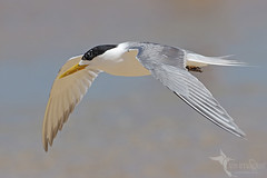 Crested Tern (VS Images) Tags: crestedtern terns laridae thalasseusbergii beach water waterbirds birds bird birding bif birdsinflight flight feathers wildlife wildlifephotography animals avian getolympus m43 vsimages vassmilevski australia nsw nature ngc naturephotography australianwildlife australianbirds olympus olympusau olympusinspired