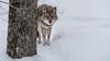 Coyote : February 11, 2018 (jpeltzer) Tags: ottawa montebello quebec parcomega winter coyote