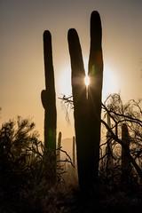 Saguaro Sun Catcher (Edmonton Ken) Tags: saguaro national park cactus backlight silhouette sunset arizona nature wild desert sand dust travel destination tourism sight seeing plant succulent peace sun carnegiea gigantea spine needle sharp beautiful cool