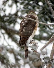 Cleared the yard in a split second (diffuse) Tags: backyard cherry tree snow hawk