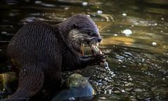 Om-nom-nom-nom (PhotographyWren) Tags: wildlife londonwetland wetland london londonwildlife wwt canon600d canon canonphotography nature natgeo telephoto otter otters