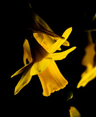 floating Daffodil 2 (PDKImages) Tags: daffodil yellow nature flowers petals flower macro macrophotography growing outdoors