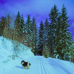 Lunch break, best break ever (evakongshavn) Tags: landscapephotography landscape landschaft paysage forest wald onmywalk walkingthedog hike outside outdoors white green snow winter dog