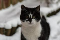 Snow Cat (Ronan McCormick) Tags: ilobsterit 2018 canon ireland spring wildlife winter black cat snow white