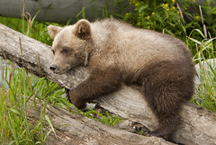 Grizzly Cub Resting (AlaskaFreezeFrame) Tags: grizzly brownbear grizzlybear bears bruin alaska alaskafreezeframe outdoors wildlife nature dangerous ursusarctoshorriblis mammal carnivore omnivore meadow grass fall claws canon telephoto powerful beautiful magnificent cub cubs baby ngc npc