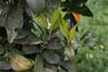 Ψίνθος (Psinthos.Net) Tags: ψίνθοσ psinthos nature countryside φύση εξοχή ιανουάριοσ γενάρησ january winter χειμώνασ απόγευμα afternoon απόγευμαχειμώνα χειμωνιάτικοαπόγευμα winterleaves χειμωνιάτικαφύλλα φύλλαχειμώνα φύλλα leaves greens χόρτα χωράφι field tree δέντρο treebranches κλαδιάδέντρου φασούλι fasouli whiteblossom whiteblossoms λευκάάνθη λευκόσανθόσ λευκόάνθοσ άνθοσπορτοκαλιάσ ανθόσπορτοκαλιάσ άνθηπορτοκαλιάσ πορτοκαλιά orangetree πορτοκάλι orange fruit φρούτο οξαλίδεσ sorrels yellowflowers κίτριναλουλούδια αγριολούλουδα άγριαλουλούδια λουλούδια flowers wildflowers