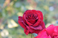 Black Magic Rose 02 (Vincent Ferguson) Tags: rose blackmagic rosa rosaceae flora nature flower botanical floral outdoor hybridtea garden natural red