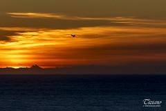 fly into the sunset (Tiziano Photography) Tags: seagull sunset tuscany castiglionedellapescaia sky clouds sea nikond750 nikon d750 flying gabbiano tramonto toscana cielo nuvole mare volare