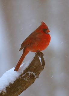 Northern cardinal .....