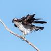 Osprey (Ed Sivon) Tags: america canon nature lasvegas wildlife wild western southwest desert clarkcounty clark vegas birdofprey bird henderson nevada park