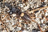 Steropleurus stalii - Chicharra montañera (Bichos Y Verde) Tags: orthoptera tettigoniidae insecta steropleurusstalii chicharramontañera