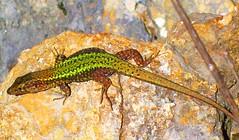 clever salamander (C.AL.) Tags: macromondays speckled salamander salamandra moteado canon smileonsaturday animal roca beautyofthebeast