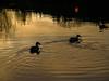 617.jpg (phillipwhitehead82) Tags: silhouete wildlife