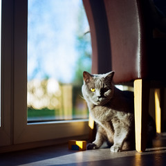 Saturday is Caturday (ako_law) Tags: 6x6 amir analog analogefotografie analogerfilm animals britischkurzhaar britishshorthair cat cats caturday ektar ektar100 familie film filmfotografie filmphotography kater kateramir katze katzen kodak kodakektar kodakektar100 mediumformat meinfilmlab mittelformat objects pentaconsix pentaconsixtl saturdayiscaturday tiere wwwmeinfilmlabde