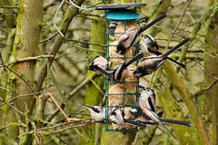 Lots of Long Tailed Tits (Mrs Airwolfhound) Tags: lots long tailed tits summer leys birds nature canon