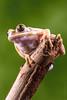 Tree Frog. (sfrancis23) Tags: tree frog amphibian d810 sigma180mmmacro elinchrom 400s flash studio strobist offcameraflash green branch eyes toes nature