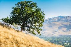 Lone tree (randyherring) Tags: ca california sanjose santaclaracountyparks santacruzmountains santateresacountypark dryseason flora grass hiking morning mountains nature outdoor park recreation summer trees vegetation