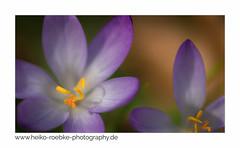 Krokus (Crocus) (H. Roebke (offline for a while)) Tags: makro krokus 2017 stadtpark flora farbe nature flower lightroom blume canon5dmkiv canon100mmf28makrolisii macro natur colour coth5