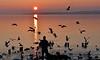 Un soir, des oiseaux, un homme (Diegojack) Tags: paysages léman préverenges soleilcouchant reflets contrejour scènedevie oiseaux mouettes cygnes lumières