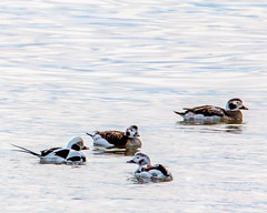 Long-tailed Ducks (mattbpics) Tags: beach longbeach duck longtailedduck canon 70d stratford tamron 150600 150600mm nature wildlife