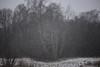 i wanted paint it black (Mindaugas Buivydas) Tags: lietuva lithuania color winter december tree trees forest snow blizzard snowstorm mood moody delta nemunasdelta nemuno deltos regioninis parkas nemunasdeltaregionalpark favoriteplaces memelland šilininkai mindaugasbuivydas shallowdepthoffield